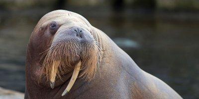 Afbeelding bij Walrussen