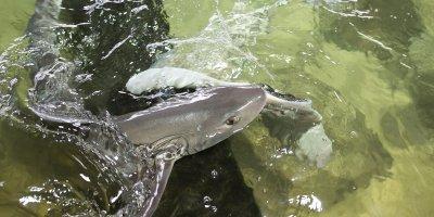 Afbeelding bij Roggen, haaien en vissen