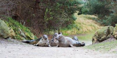 Afbeelding bij Grijze zeehond