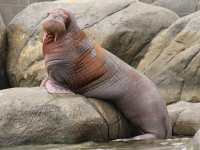 Foto - Dolfinarium verwelkomt walrus Olivia