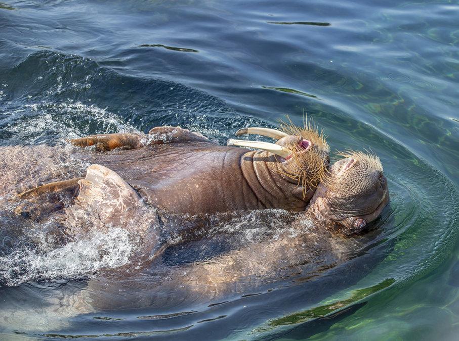 Walrussen in het water